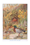 Mallard Ducks and Nest, Illustration from 'Country Days and Country Ways' Giclee Print by Louis Fairfax Muckley