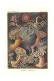 Actiniae - Sea Anemone, Pl.49, from 'Kunstformen Der Natur', Engraved by Adolf Giltsch, Published… Giclee Print by Ernst Haeckel