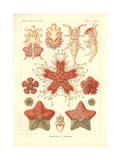 Asteridea - Sea Star, Pl.40. from 'Kunstformen Der Natur', Engraved by Adolf Giltsch, Published… Gicléetryck av Ernst Haeckel
