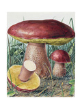 Study of Fungus Giclee Print by Josef Fleischmann