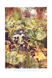 Violets in the Beechwood, Illustration from 'Country Ways and Country Days' Giclee Print by Louis Fairfax Muckley