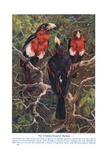 Crimson Crested Barbets, Illustration from 'Wonders of Land and Sea', Published by Cassell,… Giclee Print by Harry Hamilton Johnston