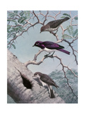 Female Greater Honey-Guide Scouts Starlings Nest in an Acacia Tree, 1954 Reproduction procédé giclée par Walter Alois Weber