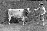 A Prize Cow, Sandringham, from 'The English Country House' Photographic Print by  English Photographer
