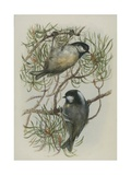Coal Tit, Illustration from 'A History of British Birds' by William Yarrell, c.1905-10 Giclee Print by Edward Adrian Wilson