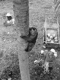 Monkey Collecting Coconuts, 1980 Photographic Print