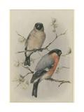 Bullfinch, Illustration from 'A History of British Birds' by William Yarrell, c.1905-10 Giclee Print by Edward Adrian Wilson