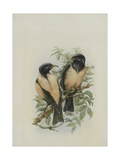 Rose Coloured Starling, Illustration from 'A History of British Birds' by William Yarrell,… Giclee Print by Edward Adrian Wilson