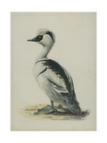 Smew, Illustration from 'A History of British Birds' by William Yarrell, c.1905-10 Giclee Print by Edward Adrian Wilson
