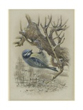 Blue Tit, Illustration from 'A History of British Birds' by William Yarrell, c.1905-10 Giclee Print by Edward Adrian Wilson