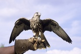Falcon with Extended Wings, Photographed at a Historical Re-Enactment Photographic Print