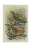 Crossbill, Illustration from 'A History of British Birds' by William Yarrell, c.1905-10 Giclee Print by Edward Adrian Wilson
