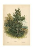 Holly Giclee Print by William Henry James Boot
