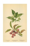 Spindle-Tree Flowers and Berries Giclee Print by William Henry James Boot