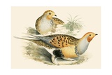 Sand Grouse Giclee Print by Beverley R. Morris