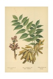 Ash, Flowers and Seed Vessels Giclee Print by William Henry James Boot