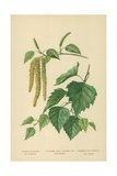 Catkins and Leaves of the Birch Giclee Print by William Henry James Boot