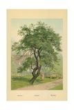 Acacia Giclee Print by William Henry James Boot