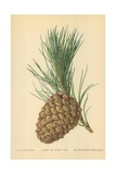 Cone of Stone Pine Giclee Print by William Henry James Boot