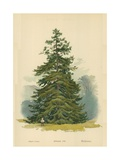 Spruce Fir Giclee Print by William Henry James Boot