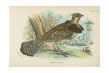 Ruffed Grouse Giclee Print by  English School