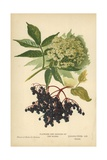 Flowers and Berries of the Elder Giclee Print by William Henry James Boot