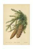 Spruce Fir-Cones Giclee Print by William Henry James Boot