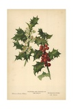 Flowers and Berries of the Holly Giclee Print by William Henry James Boot