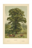 Sycamore Giclee Print by William Henry James Boot
