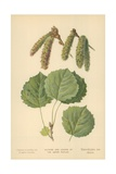 Catkins and Leaves of the Aspen Poplar Giclee Print by William Henry James Boot