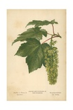 Leaves and Flowers of the Sycamore Giclee Print by William Henry James Boot