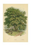 Walnut Giclee Print by William Henry James Boot