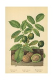 Walnut, Foliage and Fruit Giclee Print by William Henry James Boot