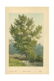 Aspen Poplar Giclee Print by William Henry James Boot