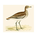 Great Plover Giclee Print by Beverley R. Morris