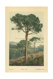 Stone Pine Giclee Print by William Henry James Boot