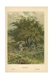 Hawthorn Giclee Print by William Henry James Boot
