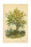 Spindle-Tree Giclee Print by William Henry James Boot