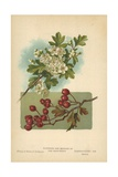 Flowers and Berries of the Hawthorn Giclee Print by William Henry James Boot