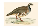 Red Legged Partridge Giclee Print by Beverley R. Morris