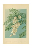 Acacia, Flower and Foliage Giclee Print by William Henry James Boot