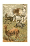 Musk Deer, Llama, Vicunia and Sooty Paca Giclee Print by  English School