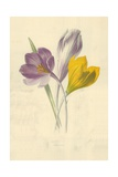 Crocus Giclee Print by Frederick Edward Hulme