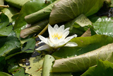 Garsington Waterlily, 2009 Photographic Print by Sarah O'Toole