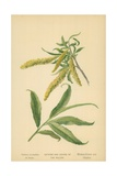 Catkins and Leaves of the Willow Giclee Print by William Henry James Boot