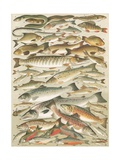 Our British Fresh Water Fish Giclée-Druck von  English School