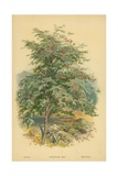 Mountain Ash Giclee Print by William Henry James Boot