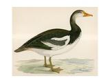 Spur Winged Goose Giclee Print by Beverley R. Morris
