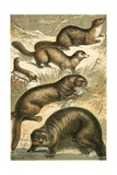 Weasel, Sable, Marten, Otter and Sea Otter Giclee Print by  English School