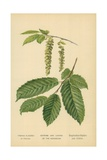 Catkins and Leaves of the Hornbeam Giclee Print by William Henry James Boot